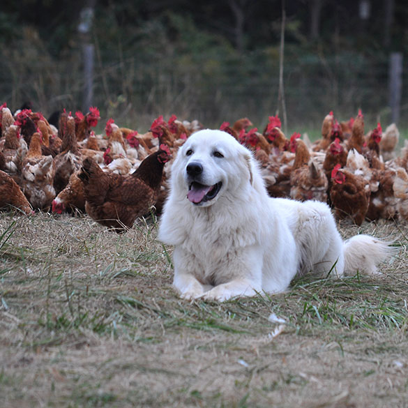 Double Brook Farm - Dog Guarding Chickens